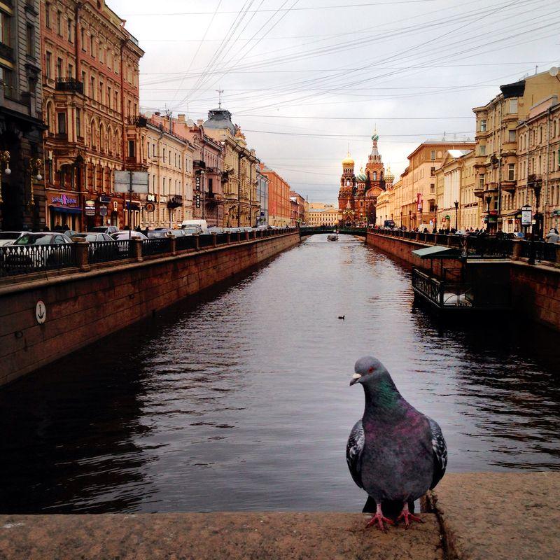 А в это время. Голубь в Петербурге | Блог Дом, в который хочется приходить